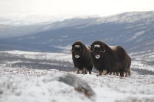 Moskussafari på Dovrefjell ved Oppdal i Trøndelag, Foto: Sigbjørn Frengen
